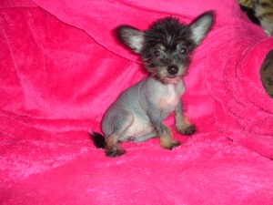 CHINESE CRESTED : CKC Registered (Canadian Kennel Club) Hairless Female Cricket